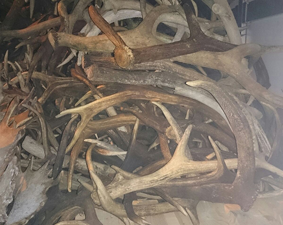 Coarne de cerb confiscate la vamă