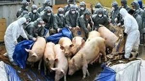 Pestă porcină în Maramureș