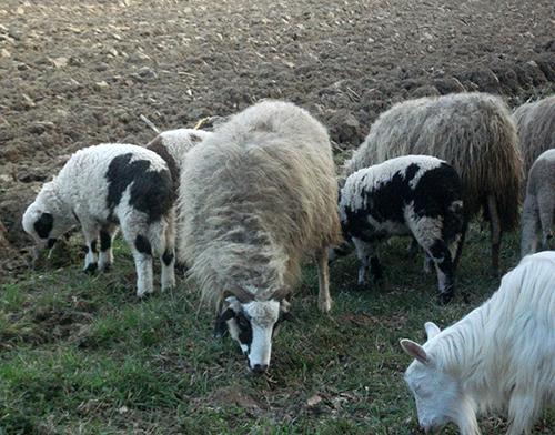 Circulația ovinelor și caprinelor – monitorizată